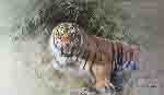 david shepherd Tiger Fire print